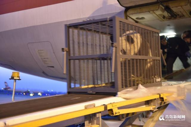 两只大熊猫乘飞机抵青 将运往龙口动物园(图)