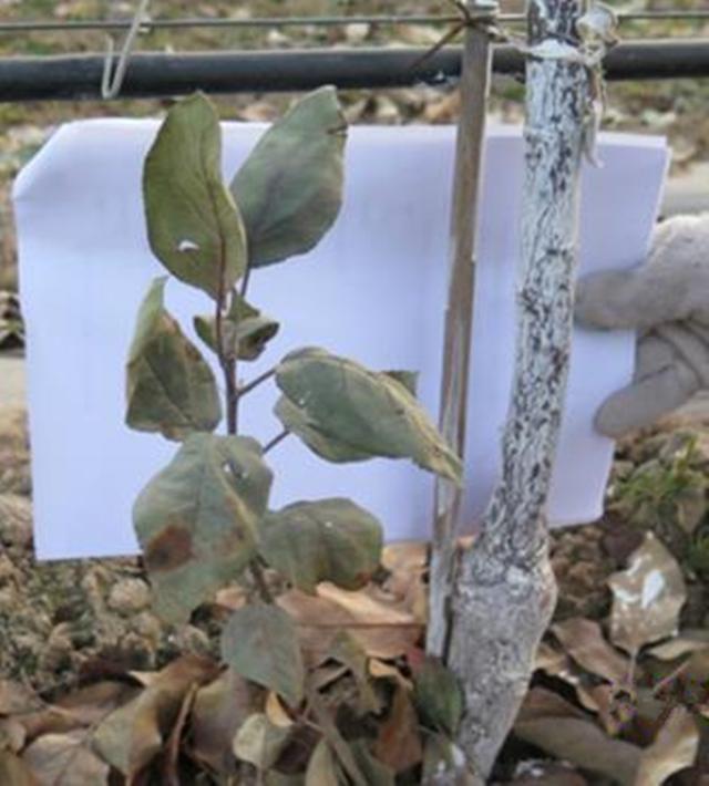 苹果树栽培技术 苹果树带分枝大苗建园当年冬季修剪方法图解