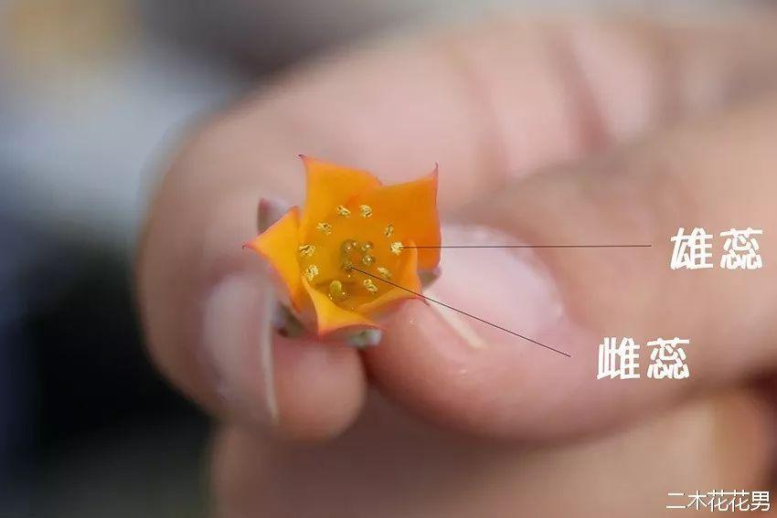 多肉植物如何人工授粉图片