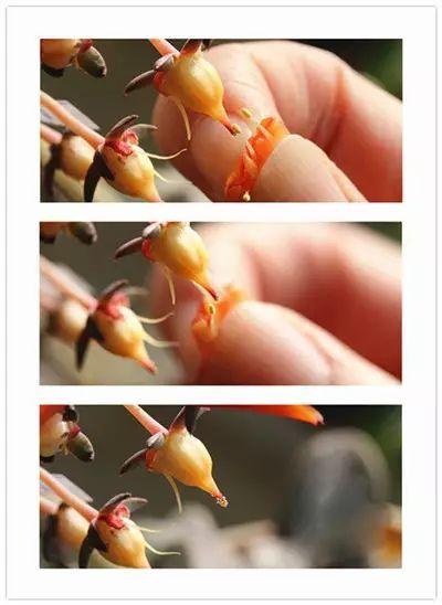 多肉植物授粉取种子的方法图片