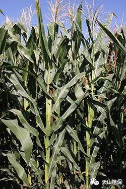 玉米在生长过程中的物候期