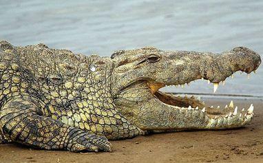 鳄鱼的眼泪 (图2)
