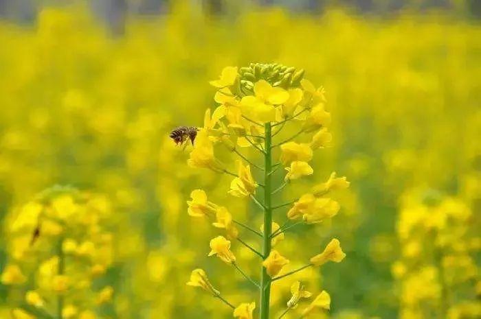 五千亩全省最大连片油菜花,春节让你美翻天图片