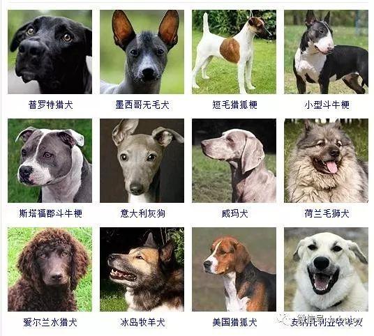 宠物狗品种图片大全,178个狗品种大全