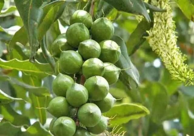 吃了那么久的坚果,你知道它们在树上长啥样吗