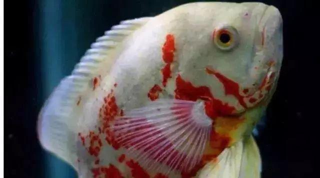 地图鱼宠爱攻略:   第一,地图鱼喜欢的是弱酸性水和中性水,别用碱性水;   第二,地图鱼不是小型鱼,建议每50升水体养一条地图鱼,这是底线;   大黄蜂从物种分类上来说,它不是地图鱼,但是它的花纹和习性与地图鱼接近,现在也几乎拿它当做地图鱼看待.