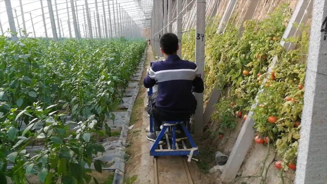 """山东菜农的春节:""""新型职业农民""""的淘金路"""