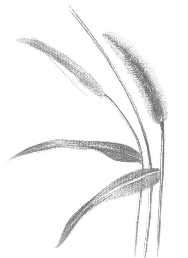 零基础学素描 素描毛毛草的绘画技法