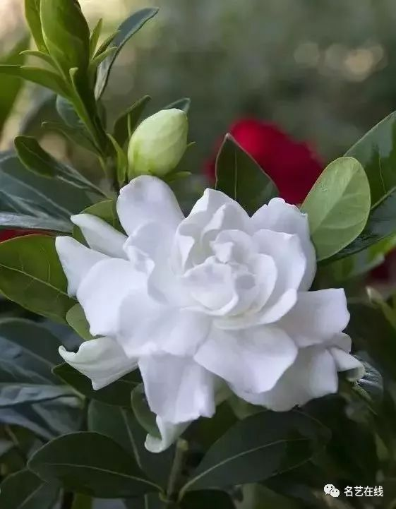 一,茶花素材美图欣赏 小提琴曲《山茶花》▼ 山茶是中国传统名花