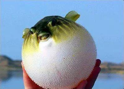 河豚变大的原理_有河豚膨胀变大的特征,但不是河豚,这是什么鱼呢 箱豚