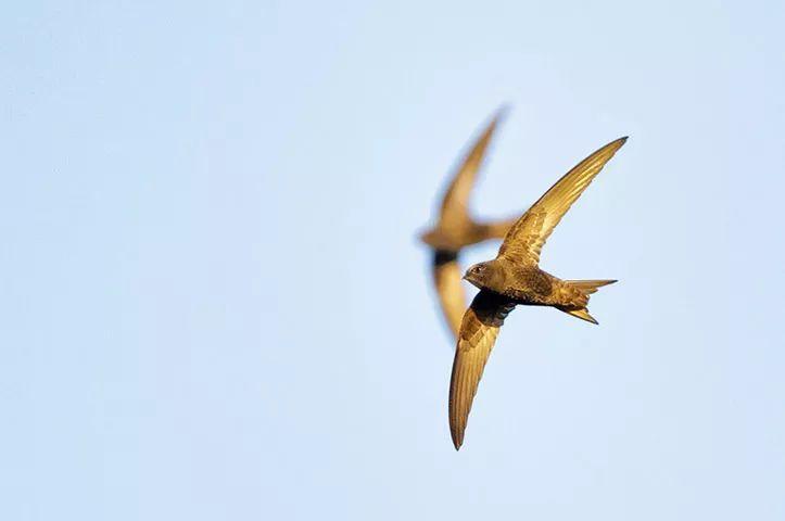 保护行动 往墙上放个巢托,春天就能长出一窝小燕子