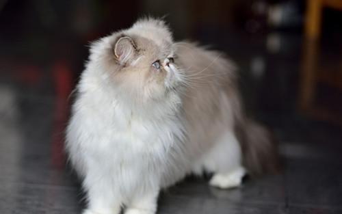 加菲猫3个月不到1斤,加菲猫很瘦会突然死掉吗