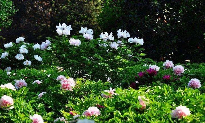 西安会变成花的海洋   街道、路边、公园都开满鲜花   兴庆公园的郁金香和牡丹   大唐芙蓉园的荷花   汉中的油菜花……