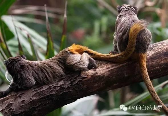 南美洲玻利维亚候_【rlyl物种说】今日--皇狨猴(Emperortamarin)