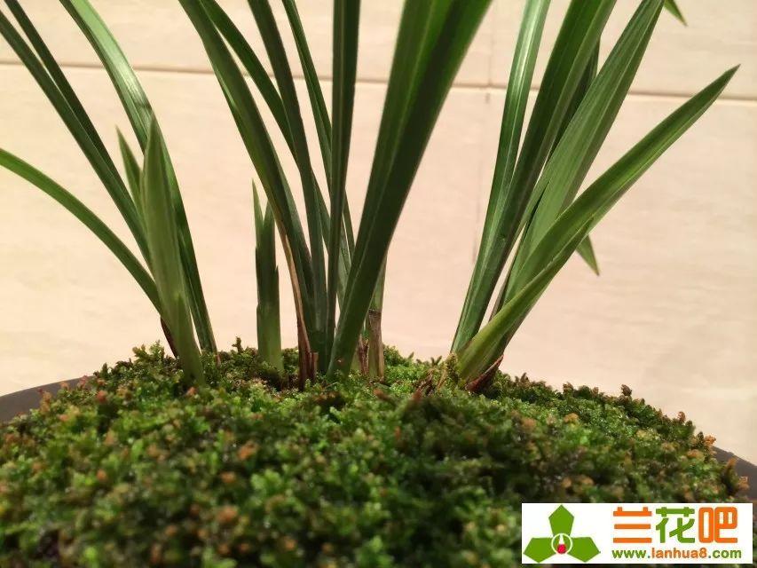 浅析兰花深种与浅种的利弊图片