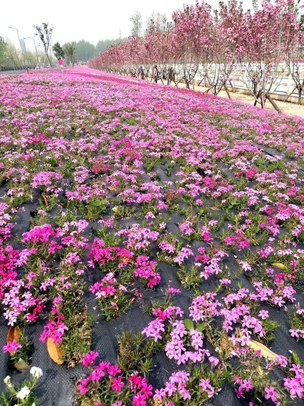 正文  初春时节,行走在桃林丰饶的大地上,无论曲折蜿蜒的田间小道图片
