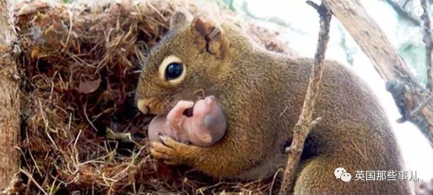松鼠会收养被其他松鼠遗弃的松鼠宝宝.图片