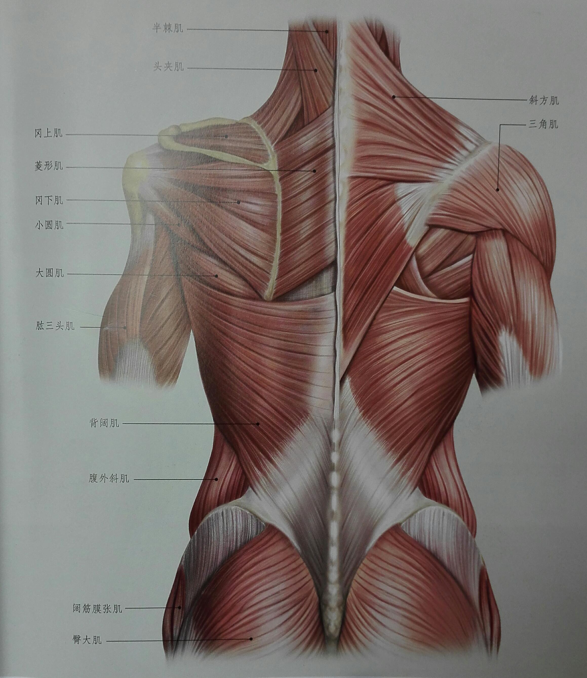 竖脊肌_背部肌肉的拉伸(有效缓解背部疲劳紧张)
