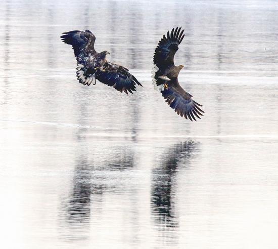 丹东:白尾海雕频现鸭绿江