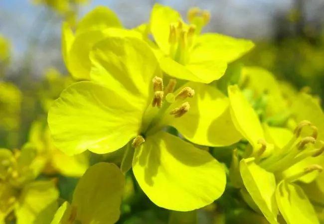 油菜花海 争相竞放,流金溢彩 泥土的清香和菜花香让人沉醉 油绿的叶子图片