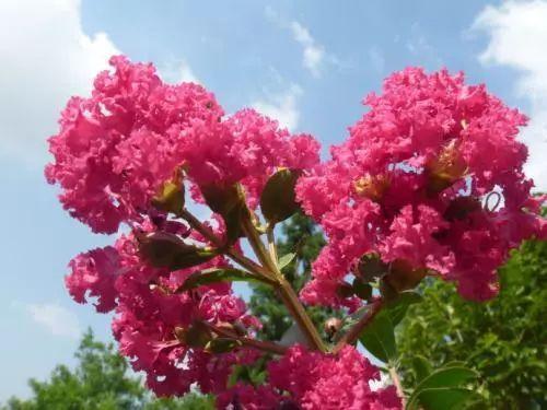 着花_据了解,紫薇花是6月开始着花陆续开放至10月.