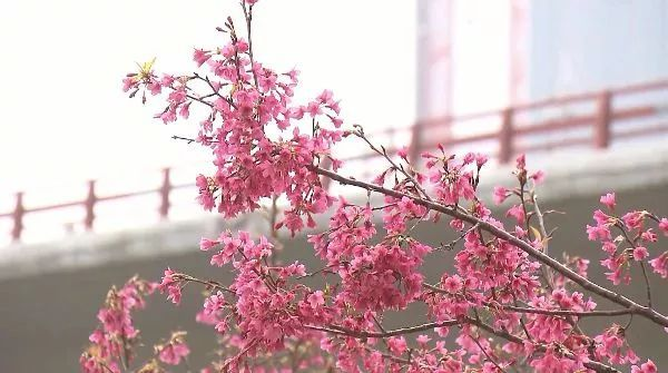 樱花的花语