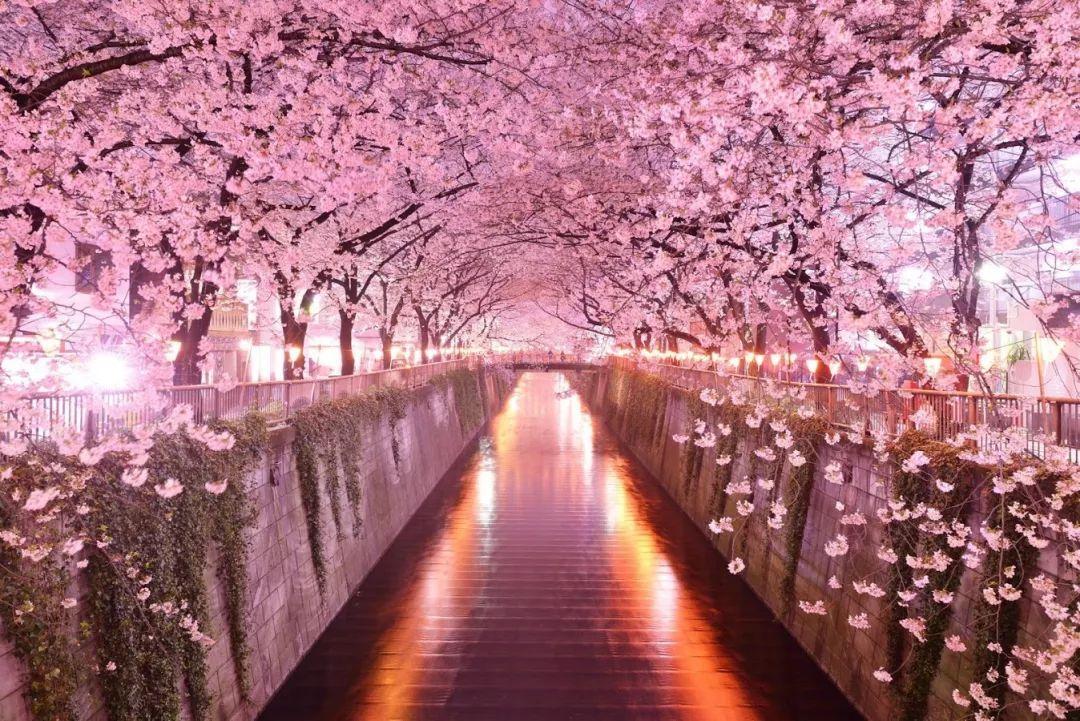最新!2018年第四回樱花开花预测,全日本最美的樱花一网打尽!