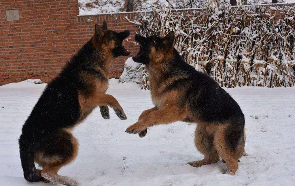土狗子咬人_警犬闻到K粉就逃跑,背后原因让人笑喷!警察:这警犬可能是假 ...
