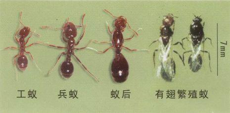 一旦被红火蚁咬亲后果不堪设想 【红火蚁的危害】 ▼ 红火蚁是蚂蚁的