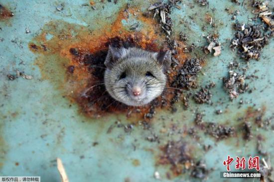 法国一小学老鼠猖獗 每天上课前先清理老鼠屎