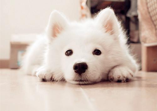 宠物狗排名_宠物狗智商排名