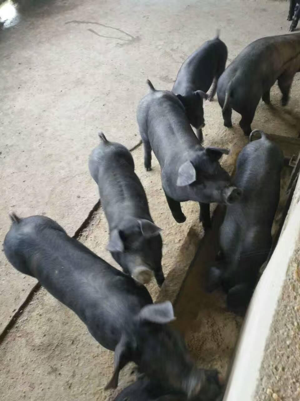 湖北随州肉猪价格猛跌,新鲜猪肉跌到八块一斤