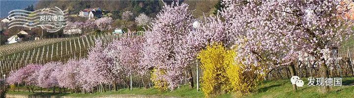德国的杏花节