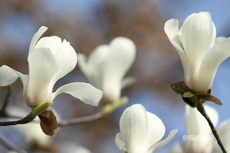 西安高新区玉兰花美丽绽放  踏青赏春最相宜 - 视点阿东 - 视点阿东