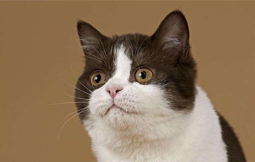 猫咪贫血的症状_猫咪贫血营养不良症状_猫咪贫血怎么补