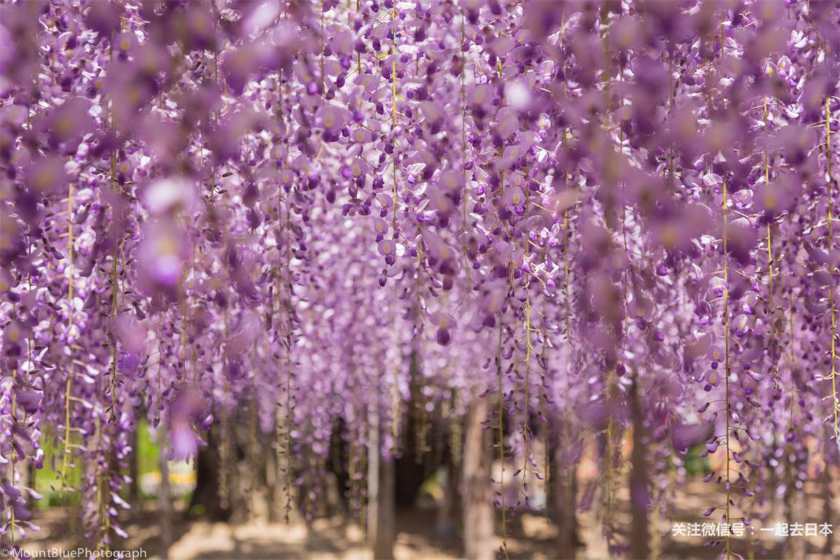 比樱花更浪漫,开满紫藤的足利花卉公园