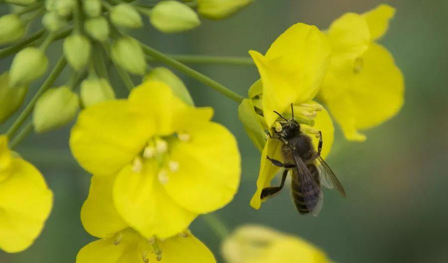时不时地还可以看到辛勤采蜜的小蜜蜂图片