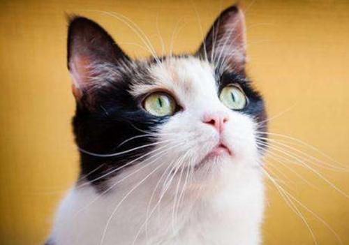 卷耳大脸猫图片_金吉拉发腮前后对比,金吉拉的三种脸,发腮前后对比_大山谷图库