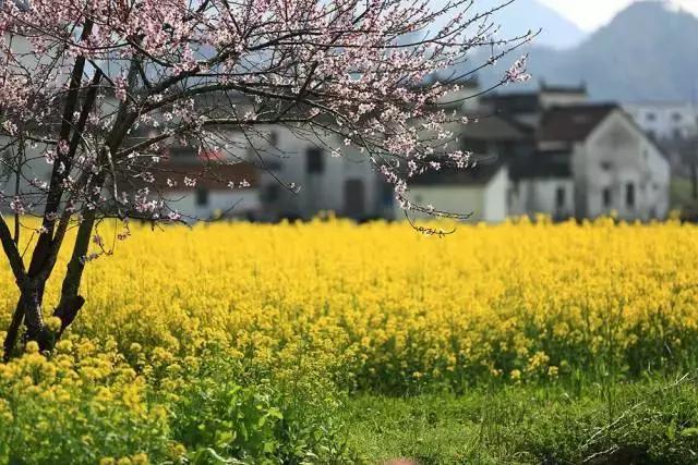 每到阳春三月,这里便又回到了古徽州!图片