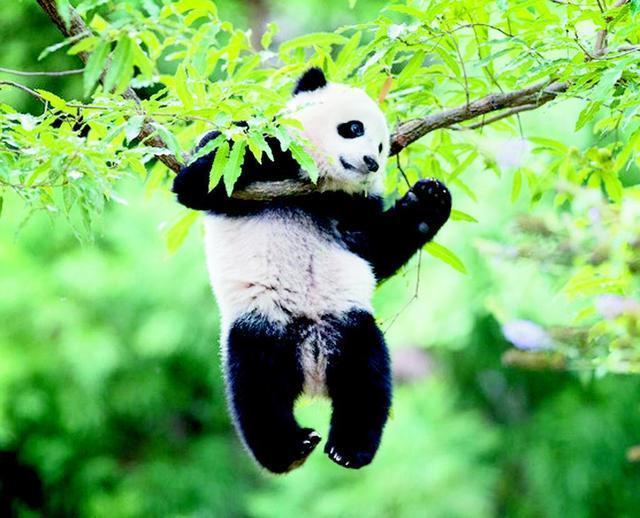 真实的熊猫怎么看都可爱