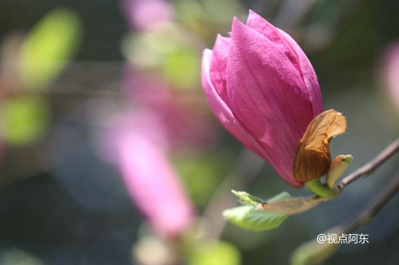 艳遇西高新:那迎春绽放的紫玉兰竟如此浪漫迷人 - 视点阿东 - 视点阿东