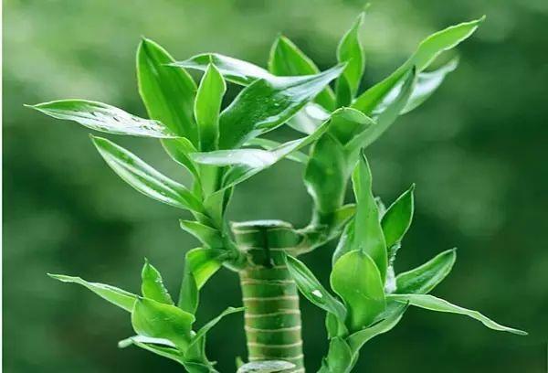 富贵竹可以土养吗_没阳光也可以养花,耐阴植物你有种过吗?