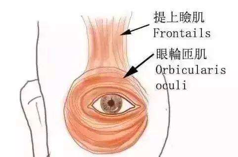 眼部肌肉解剖图-肉毒素注射并发症的治疗五法
