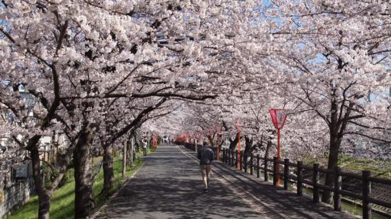 """完美融入,体验 """"23区""""的赏樱之旅"""