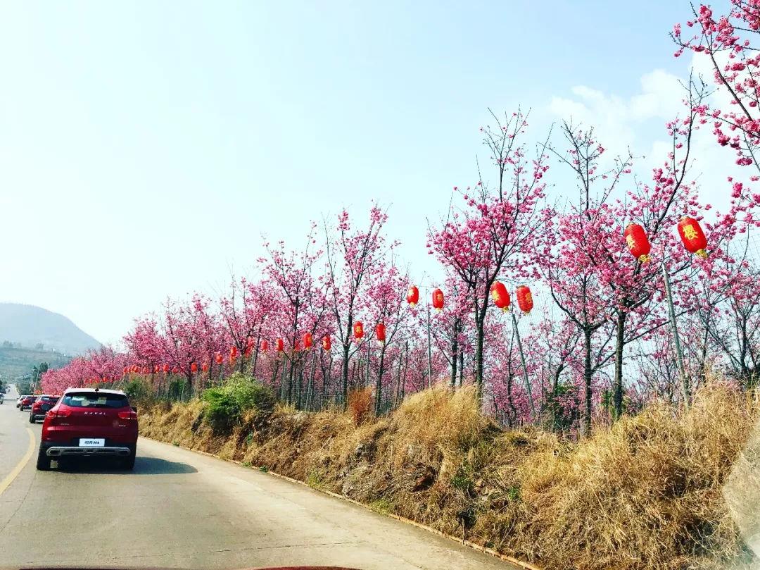 (途径樱花谷景区,这是当地第二届樱花节)
