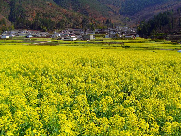 德阳周边最美油菜花即将惊艳整个春天!