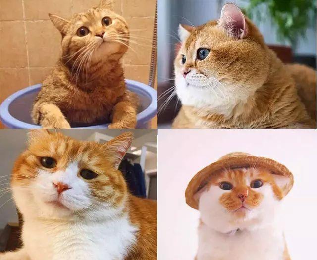 宠物 正文  你认为橘猫胖,更可能是一种