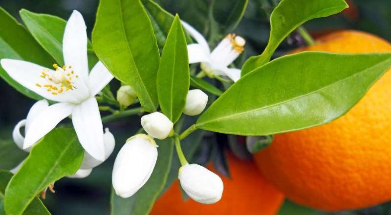 能产生白花香气的化合物一般为甲位松油醇(α-terpilenol),茴香酸