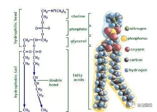 (大豆磷脂分子式)图片