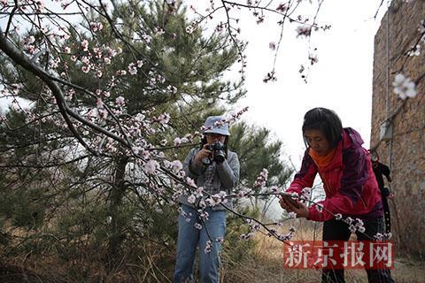 北京桃花节开幕 植物园内可赏150万株春花
